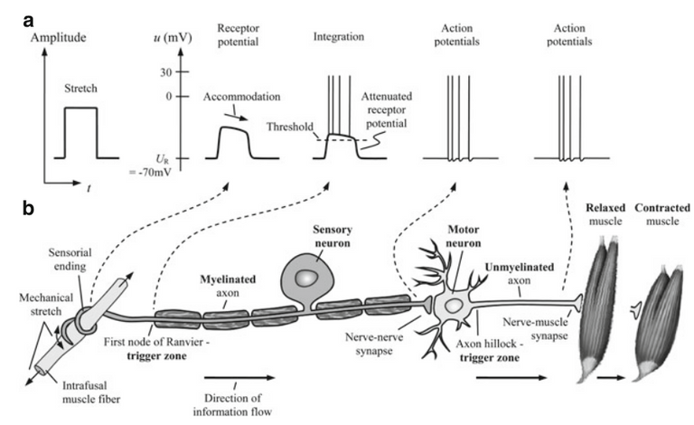 How the body stimulates the muscle