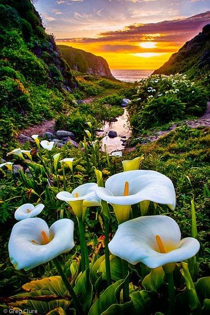FLOWER CALLA LILIES.jpg