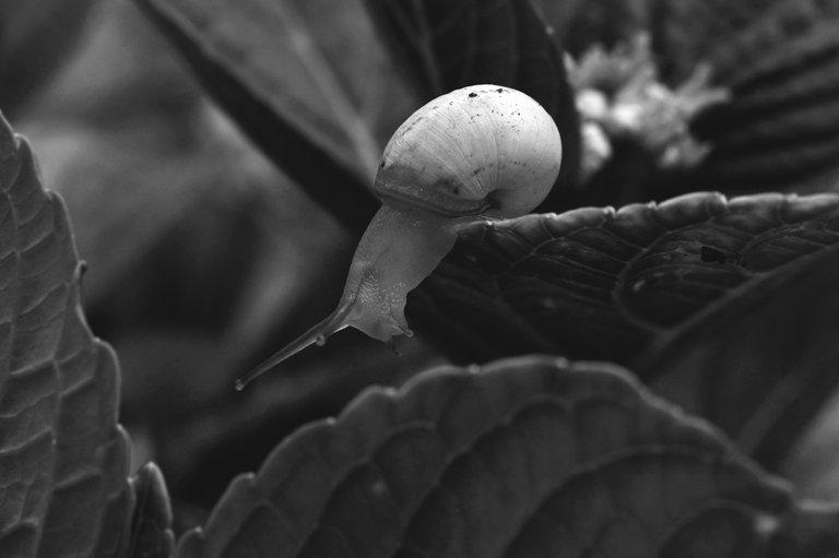 snail hydrangea bw  6.jpg
