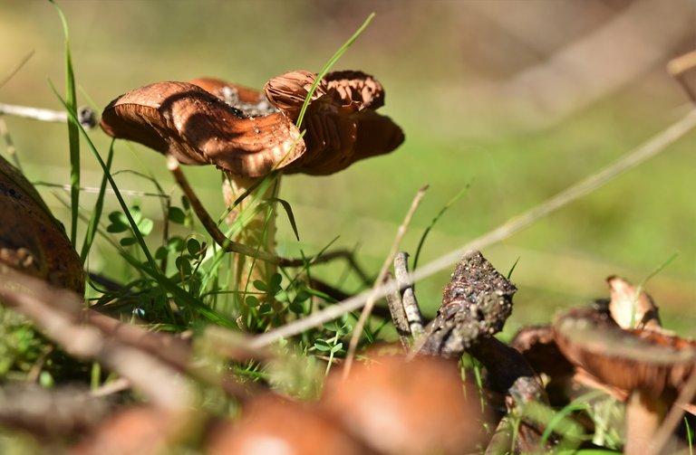 brown mushroom gills 1.jpg