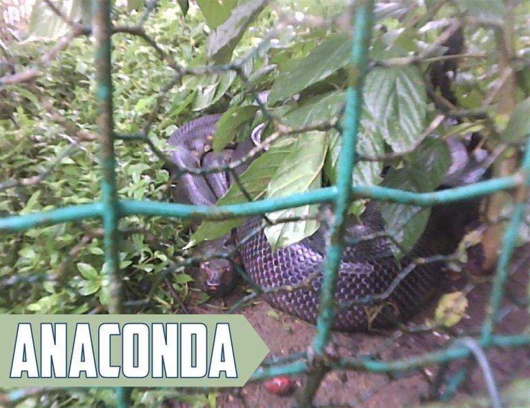 AnacondaPicture.jpg