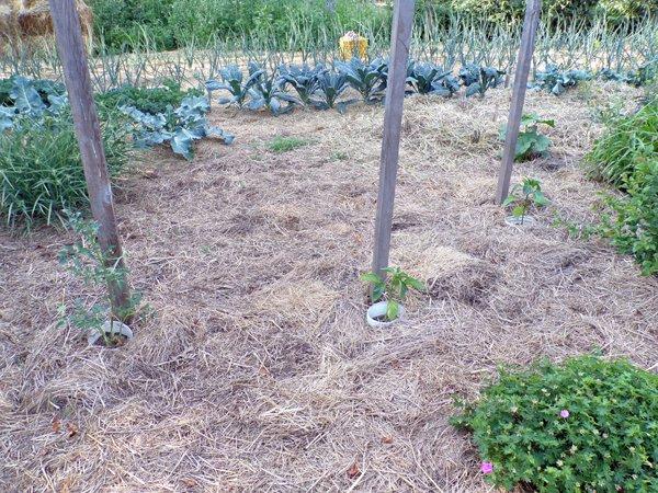 Big garden  Sungold and 2 peppers, hollyhock crop June 2020.jpg
