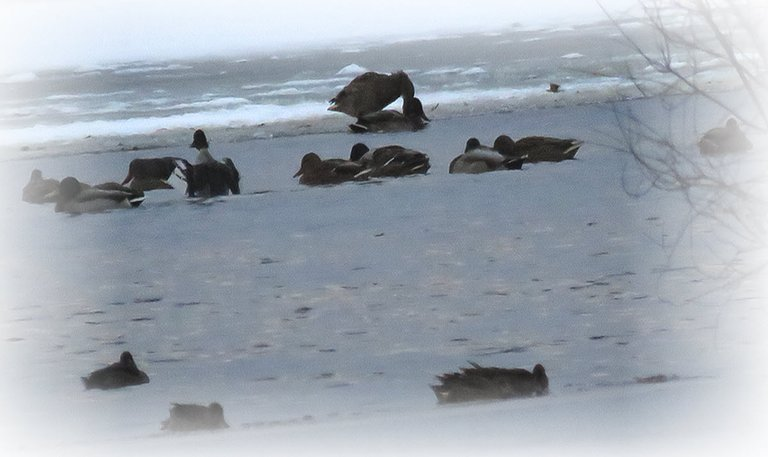 ducks on icy water 1 stretching wings 1 standing on edge of ice.JPG
