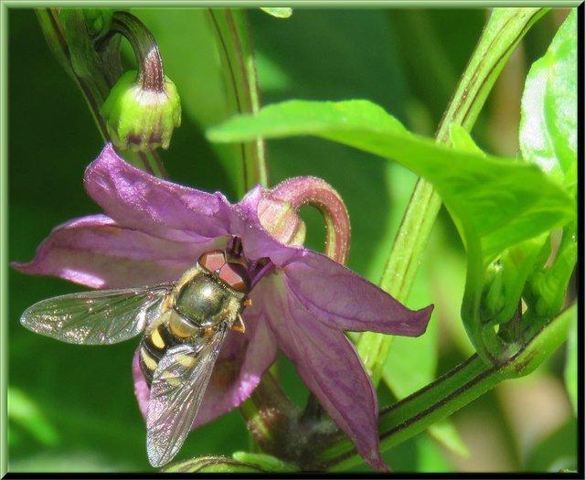 close up fly cross bee looking pollinator on purple pepper flower.JPG