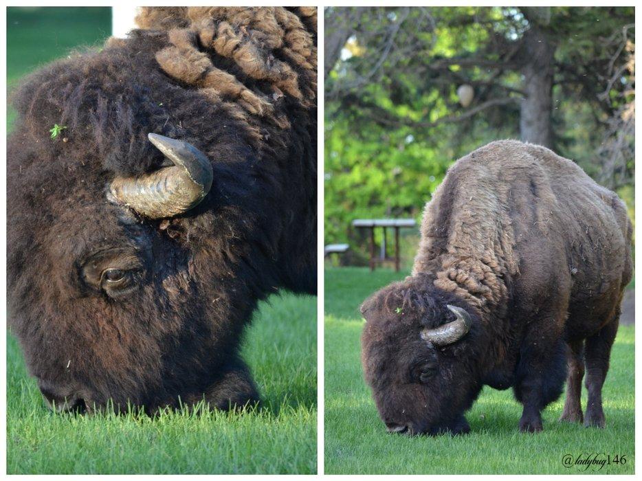 plain bison.jpg
