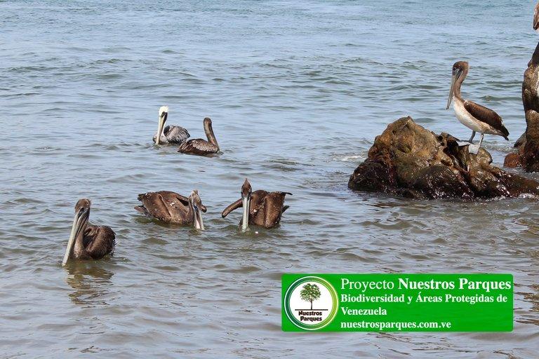 4 pelicanos.jpg