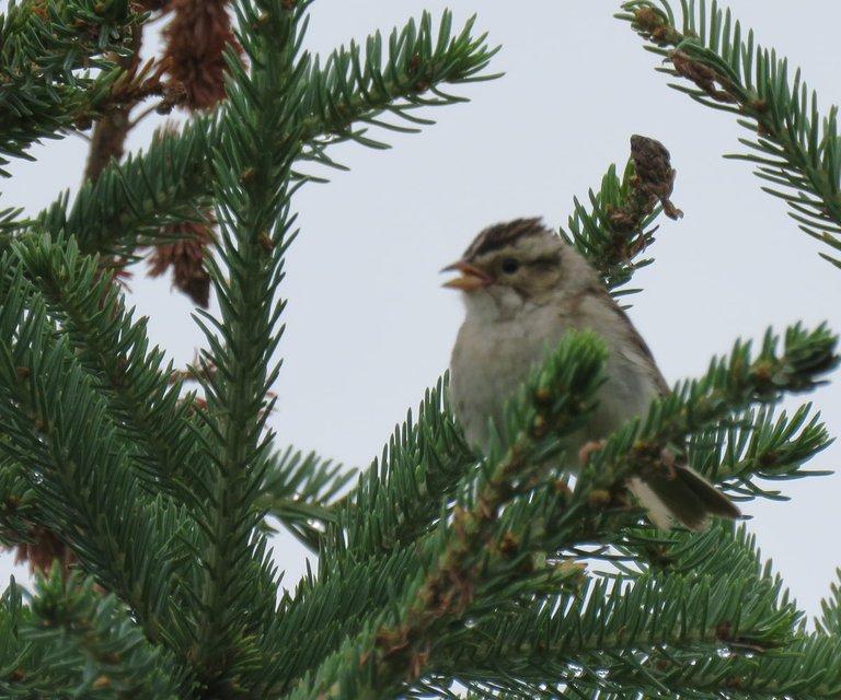 close up tree sparrow chirping.JPG