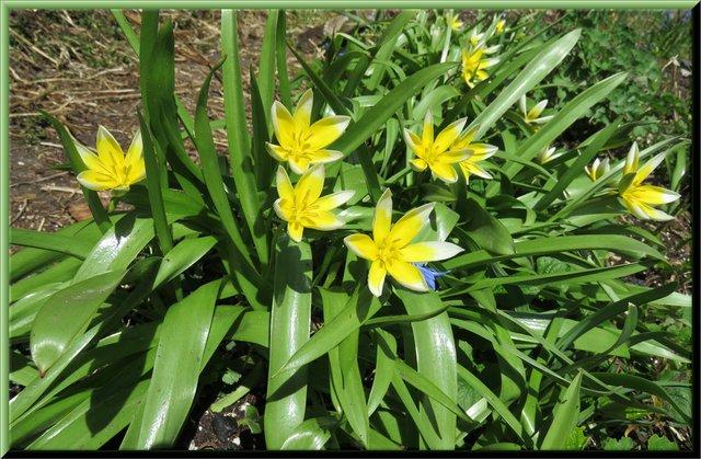 bunch of tulip tarda in bloom.JPG