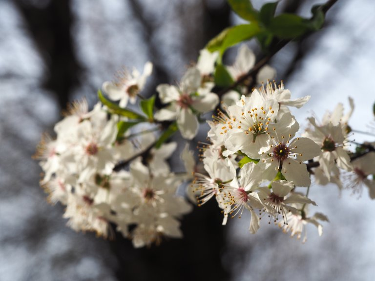 flower of cherry plum fpr 500px.jpg