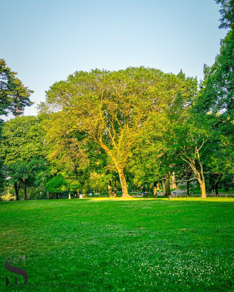 1 1 trees central Park2.jpg
