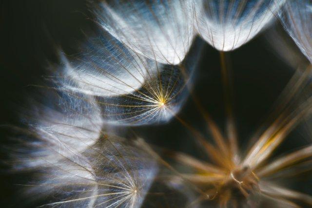 Dandelion-Universe.jpg