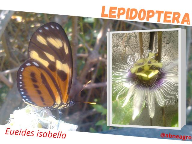 Lepidoptera flor.png