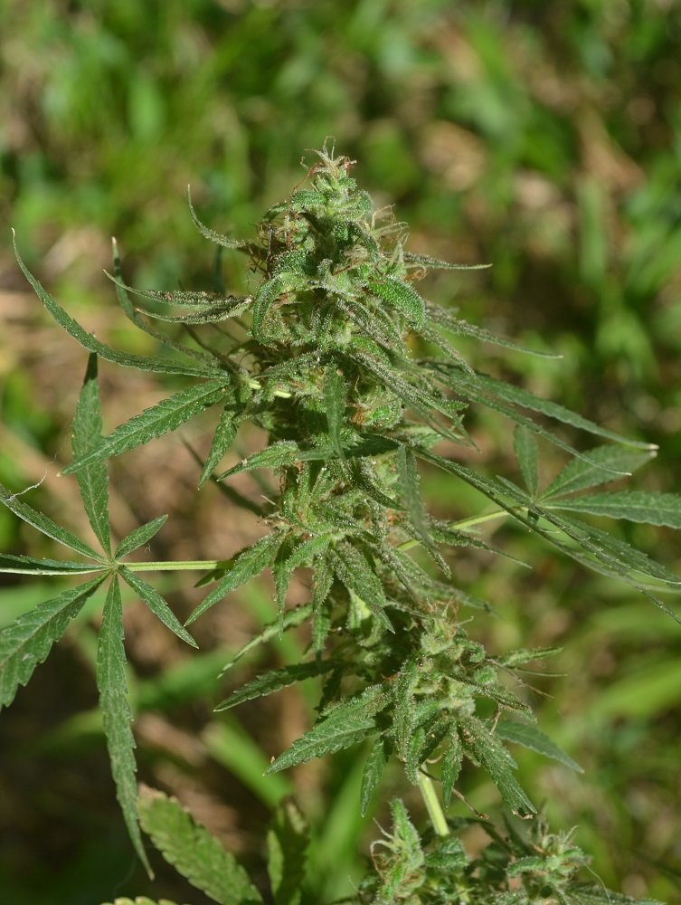 7-blatt-weedporn-1.jpg