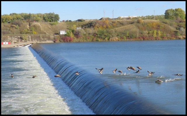 flock of Canada Geese taking flight over the weir.JPG