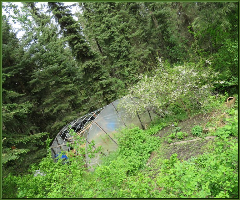 forest greens garden and hoop house nestled in the spruce and berry bushes.JPG
