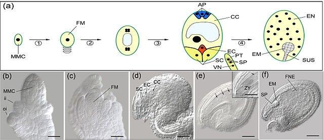 Double fertilization in Arabidopsis