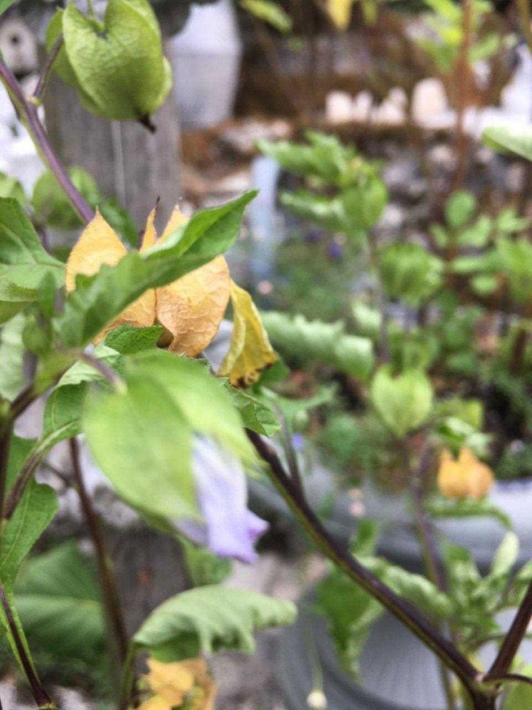 bl.physalis Blüte und getr. Kapsel 0.1.jpg