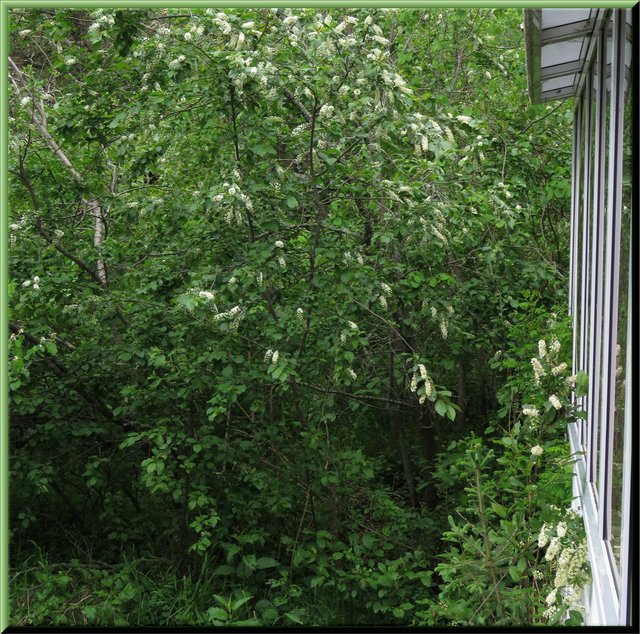 chokecherry bushes in bloom by sun room.JPG