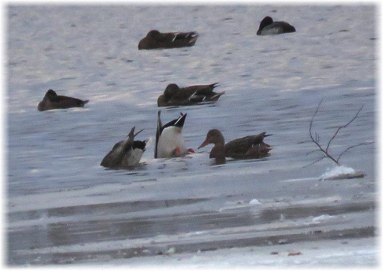 ducks o icy water 1 bottoms up feeding.JPG