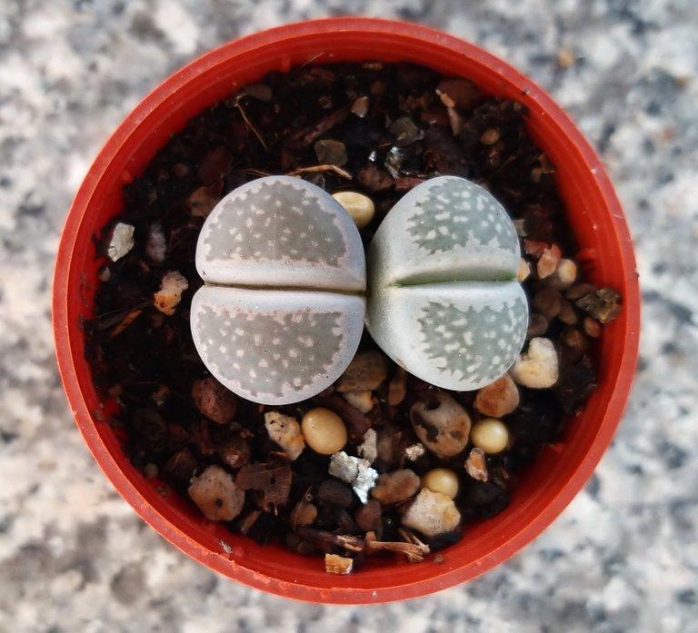 leaves_cactus_kohsamui99_167.jpg