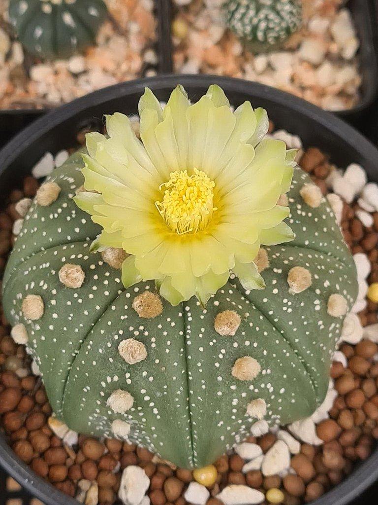 leaves_cactus_kohsamui99_250.jpg