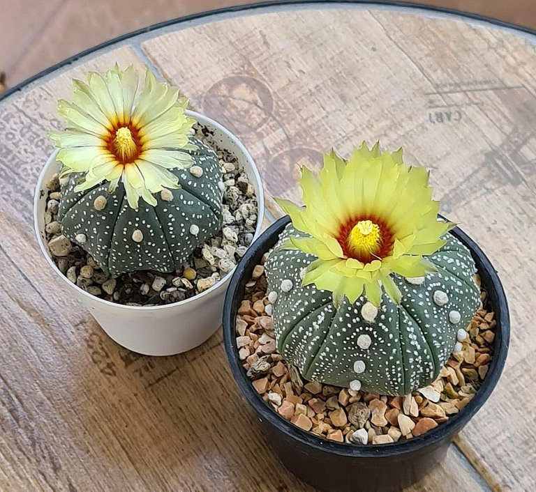 leaves_cactus_kohsamui99_232.jpg