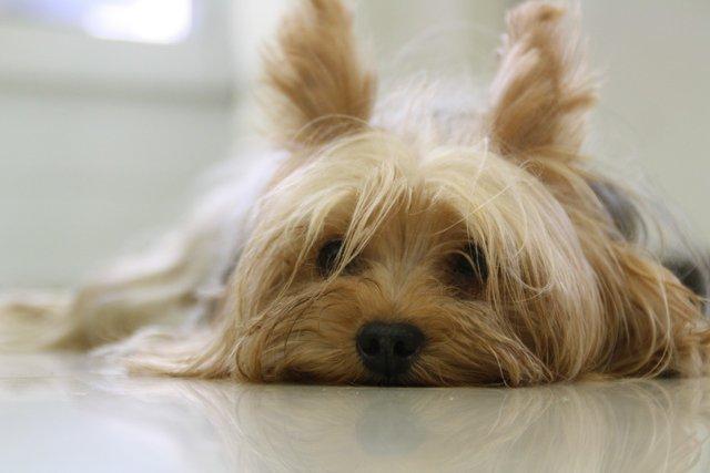 yorkshire-terrier-171701_1280.jpg