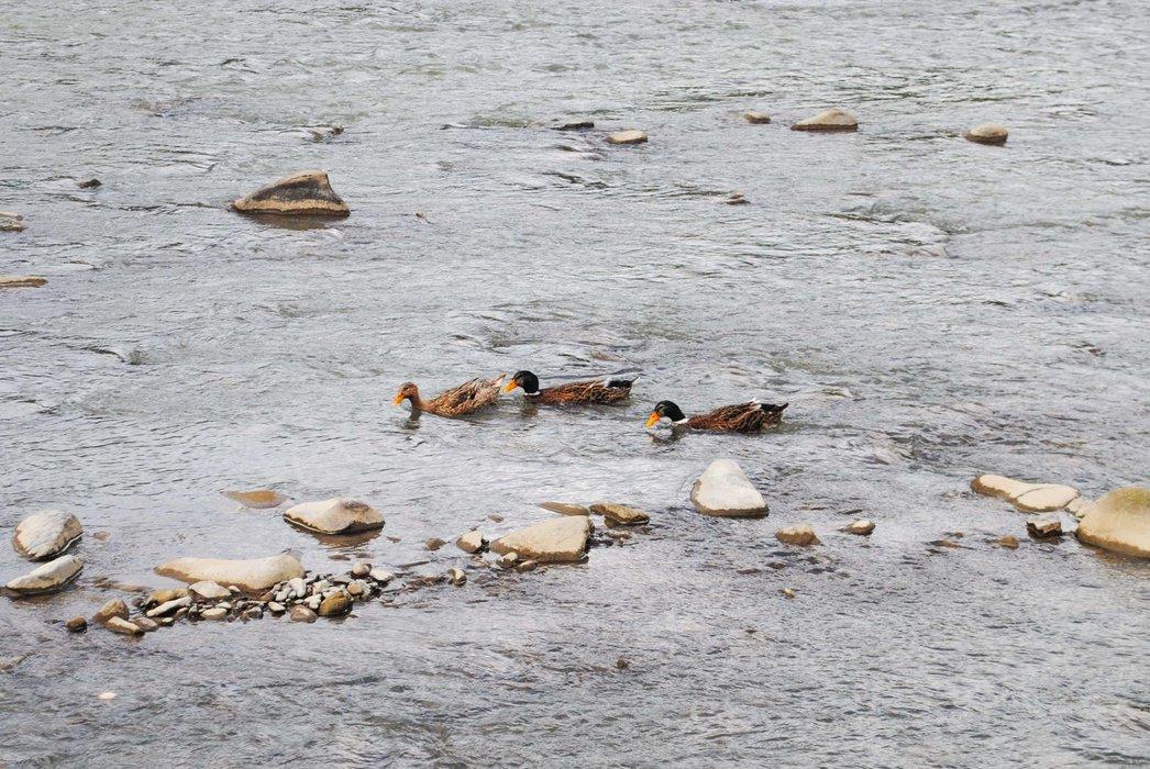 Ducks also swam in the river