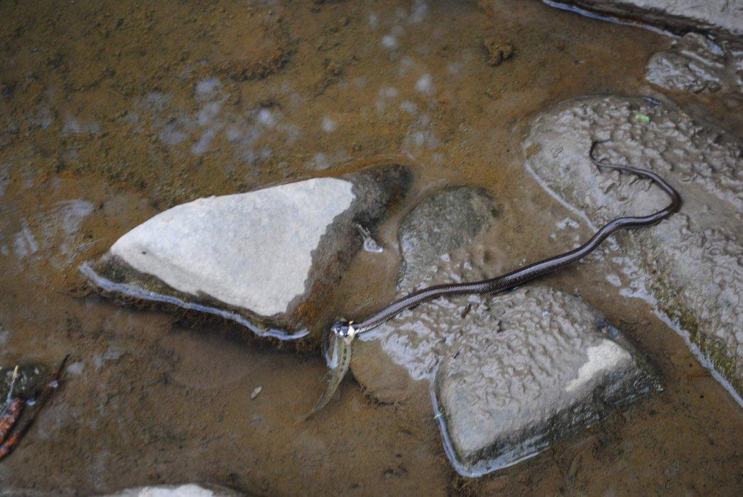 A non-poisonous snake caught fish