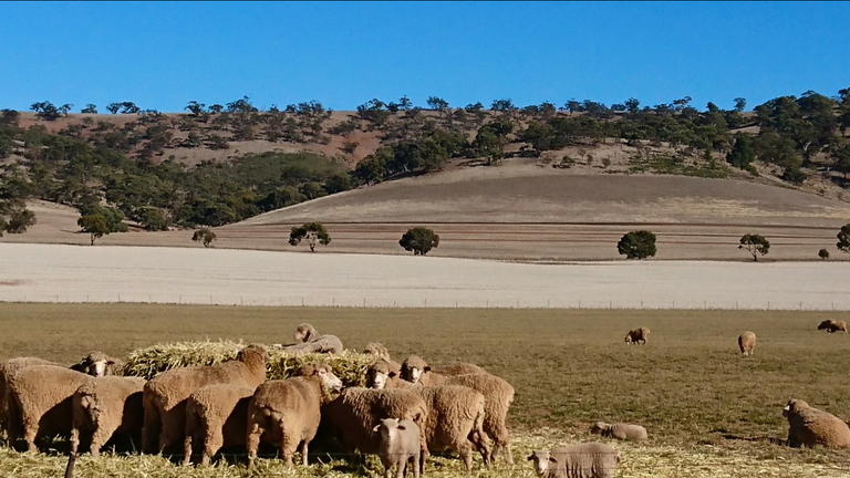 Lamb on Haybale, with Sheep