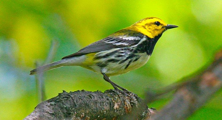 Black throated Green Warbler John Harrison at 3.0.jpg