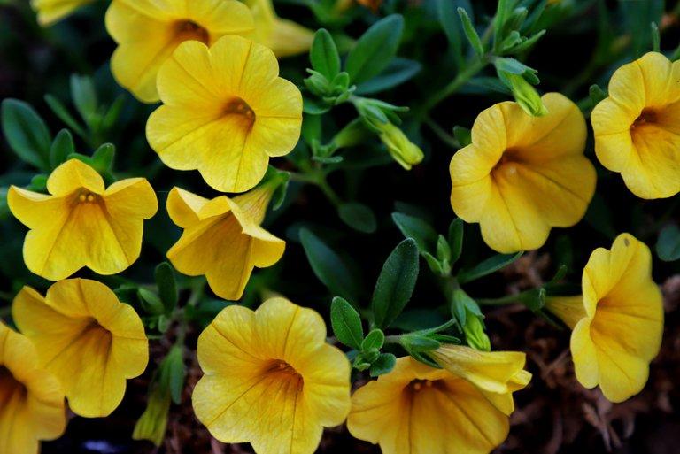 IMG_1500 yellow petunias.JPG