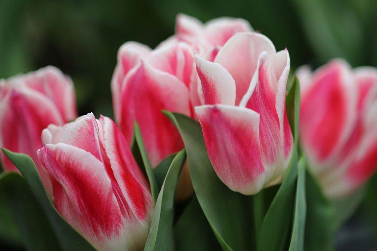 candy strip tulip.JPG