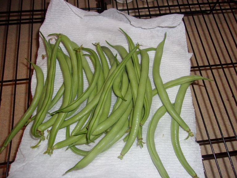 green beans collected.jpg