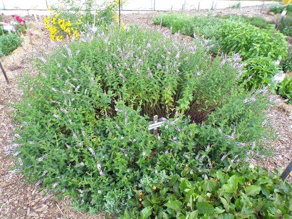 New Herb  Row 4, peppermint crop July 2020.jpg