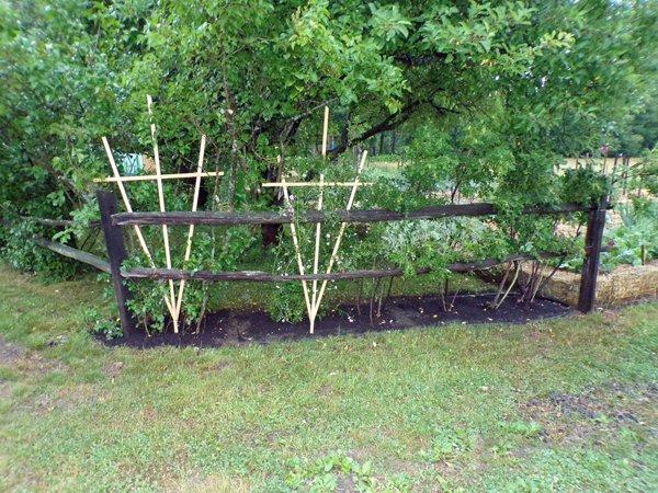 Rugosa roses  bed finished2 crop June 2020.jpg
