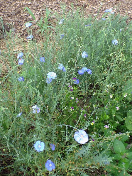 New Herb  Row 2, blue flax crop July 2020.jpg