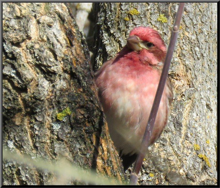close up purple finch on  side of tree trunk.JPG