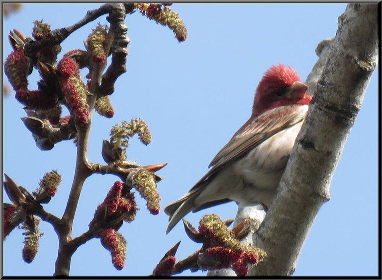 close up male purple finch by red catkins on poplar tree.JPG
