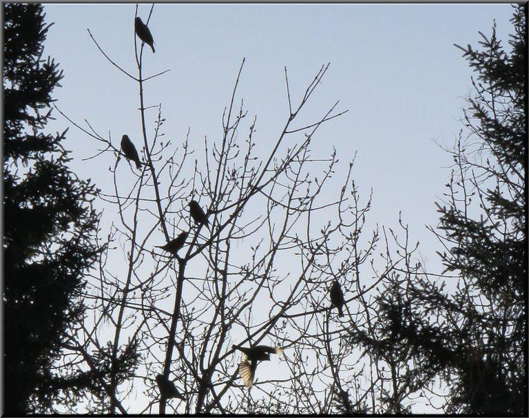 silhouettes of grosbeaks in tree 1 in flight.JPG