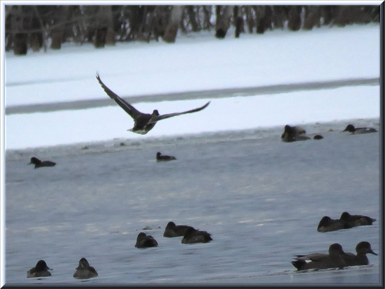 duck in flight over others swimming on icy water.JPG