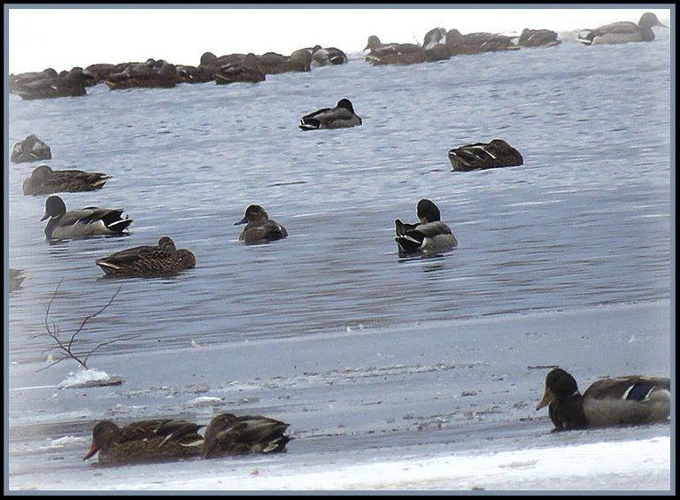 mallard ducks resting and swimming  on icy water.JPG