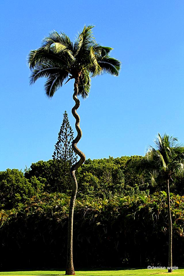 corkscrew tree.png