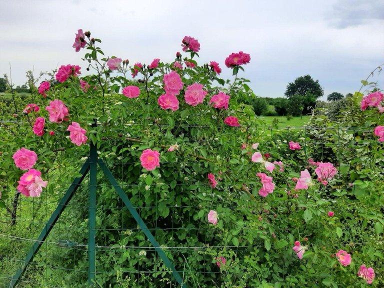 Pink Rosen 1.2.jpg