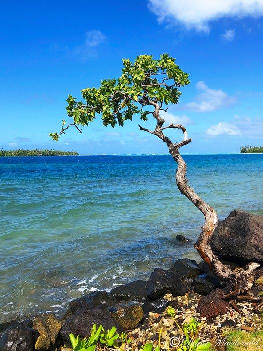 gnarled tree by lagoon parea huahine.jpg