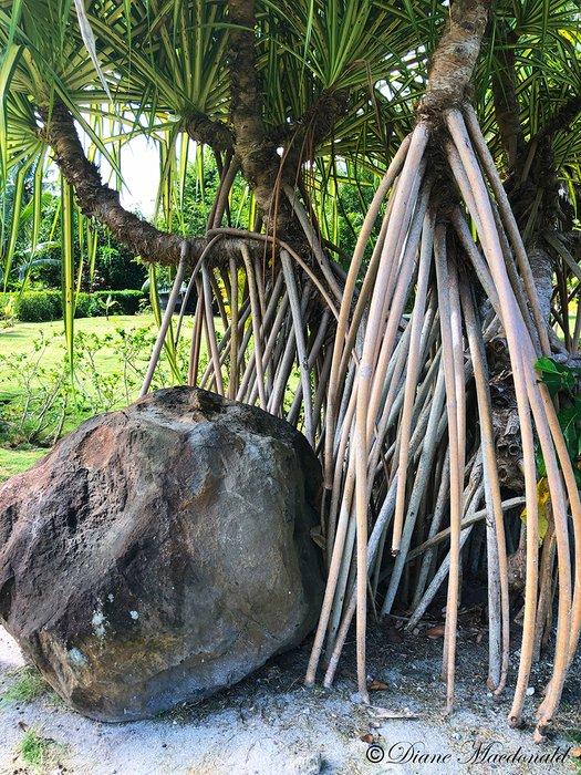 tree roots and boulder parea huahine.jpg