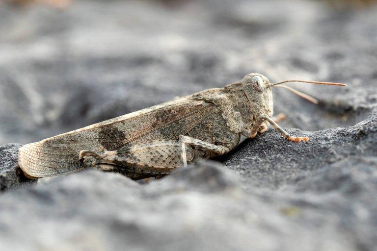 Rotflügelige Ödlandschrecke Oedipoda germanica_P1126238.jpg