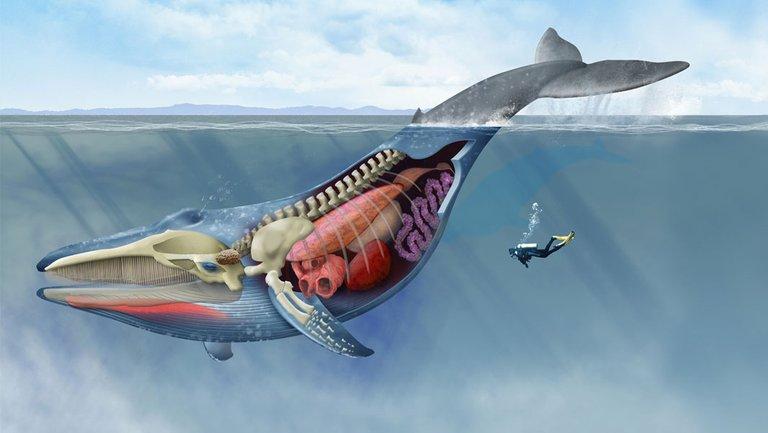 blue-whale-tb_tcm25-561207.jpg