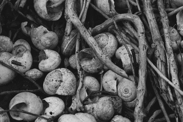 snail shells garden bw 5.jpg