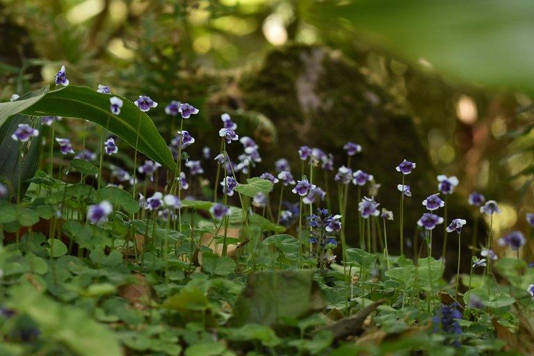 Viola hederacea violet 11.jpg